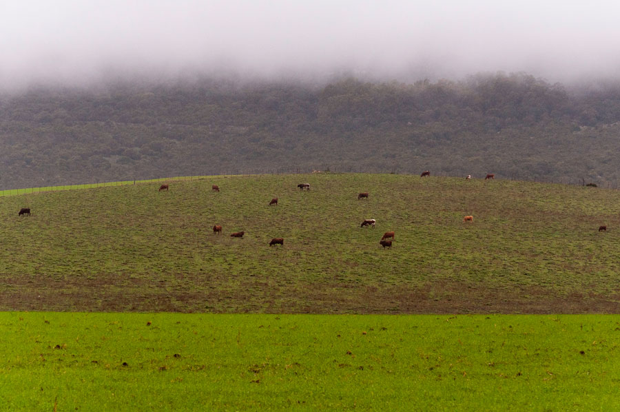cows_on_a_hill2