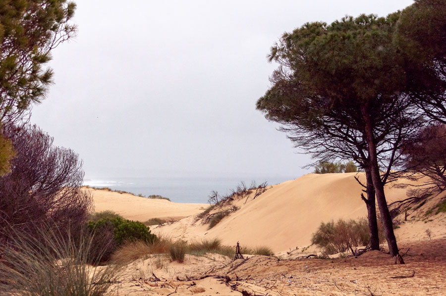 dunes,_pines_and_vague_ocean